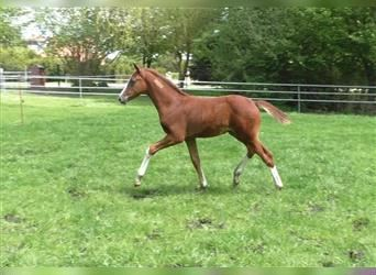 Oldenburg, Stallion, Foal (03/2021), 16.2 hh, Can be white