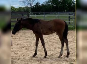 Andalusian, Gelding, 1 year, Bay