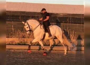 Andalusian, Stallion, 8 years, 16 hh