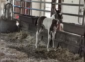 Paint Horse, Stallion, Foal (01/2021), 15.1 hh, Overo-all-colors