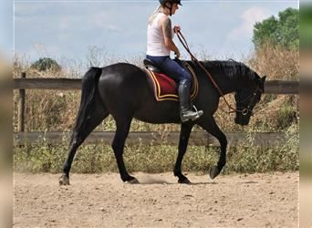 Andalusian, Gelding, 9 years, 15.1 hh, Black
