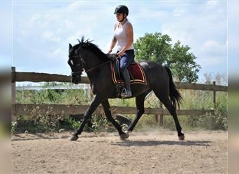 Andalusier, Wallach, 9 Jahre, 156 cm, Rappe