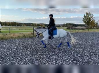 More ponies/small horses, Mare, 8 years, 14.1 hh, Gray
