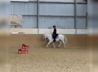 French riding pony, Gelding, 13 years, 14.1 hh, Gray
