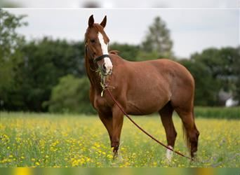 French Trotter, Mare, 11 years, 15.2 hh, Chestnut-Red