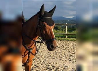 French riding pony, Gelding, 17 years, Brown