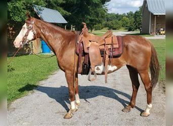 Paint Horse, Mare, 15 years, 15.1 hh, Sorrel