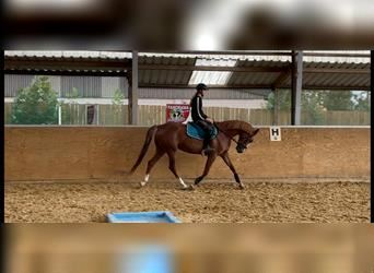 Polish riding pony, Mare, 7 years, 14.1 hh, Chestnut-Red