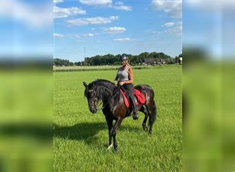 Andalusian, Gelding, 8 years, 16 hh, Black