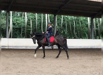 Andalusier, Wallach, 8 Jahre, 165 cm, Rappe