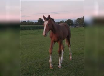 KWPN, Mare, 17 years, 16 hh, Brown