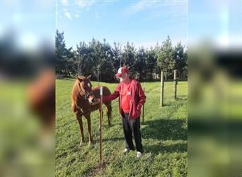 Quarter Pony Mix, Gelding, 10 years, 12 hh, Roan-Red