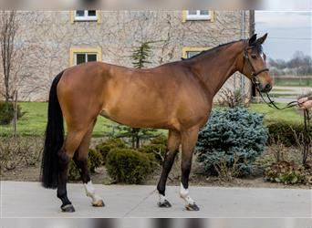 Hungarian Sport Horse, Mare, 4 years, 16.1 hh, Bay