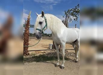 Andalusian, Stallion, 10 years, 15.2 hh, Can be white