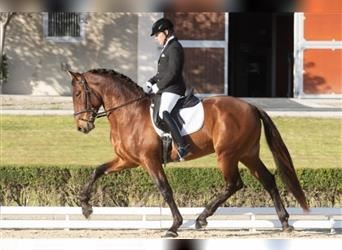 Andalusian, Stallion, 5 years, 17 hh, Bay