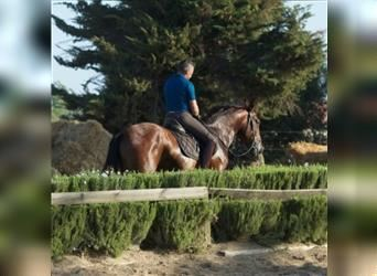 Andalusier, Hengst, 5 Jahre, 173 cm, Rotbrauner