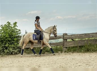 Andalusian, Gelding, 3 years, 15 hh, Palomino