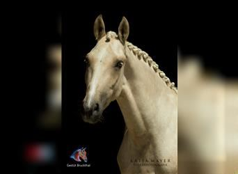 Andalusier, Wallach, 3 Jahre, 154 cm, Palomino