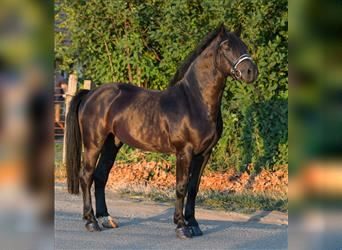 More ponies/small horses Mix, Gelding, 6 years, 15.1 hh, Black