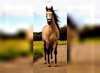 P.R.E., Gelding, 4 years, 16 hh, Gray-Red-Tan