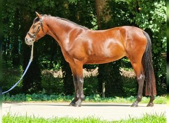 More ponies/small horses, Mare, 7 years, 14.1 hh, Brown