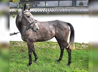 Other Warmbloods, Gelding, 4 years, 16 hh, Gray