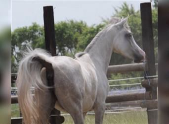Straight Egyptian, Mare, 4 years, 14.3 hh, Gray