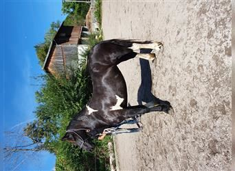 Baroque Pinto, Mare, 3 years, 15 hh