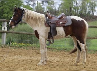 Curly horse, Gelding, 4 years, 15.1 hh, Bay