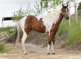 Paint Horse, Wallach, 4 Jahre, 153 cm, Tobiano-alle-Farben