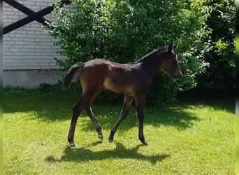 Anglo European Studbook, Mare, Foal (05/2021), 12 hh, Gray