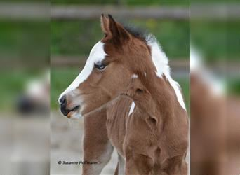 Lewitzer, Stallion, Foal (04/2021), 14.1 hh, Tobiano-all-colors
