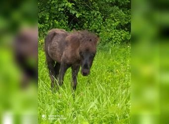 Shetland Ponies, Mare, 17 years, 9.1 hh, Pinto