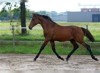 Small German riding horse, Stallion, Foal (03/2021), 16 hh, Brown
