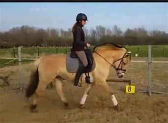Fjord Horses, Mare, 12 years, 14.1 hh