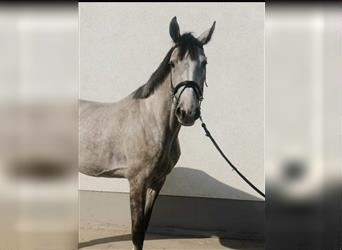 Oldenburg-International (OS), Mare, 4 years, 16.2 hh, Brown Falb mold