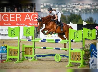 Swiss Warmblood, Mare, 11 years, Chestnut-Red