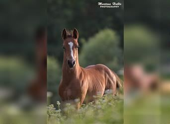 Quarter Horse, Mare, 1 year, Brown