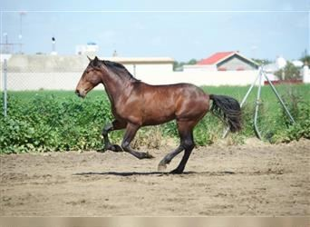 Andalusian, Stallion, 6 years, Bay