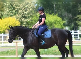 Anglo-Arab, Mare, 6 years, 16 hh, Black