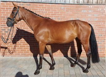 German Riding Horse, Mare, 5 years, 16.1 hh, Brown
