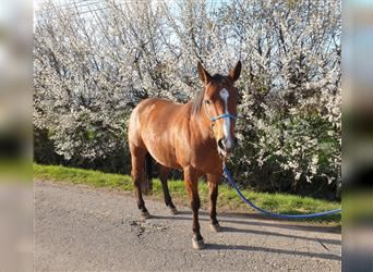 American Quarter Horse, Mare, 8 years, 14.2 hh, Brown