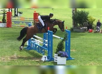 French riding pony, Mare, 6 years, 16.1 hh, Brown