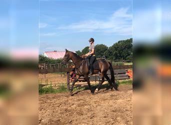 French Trotter, Gelding, 5 years, 16.1 hh, Brown