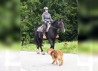 More ponies/small horses, Mare, 4 years, 14.2 hh, Black