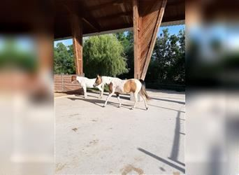 Paint Horse, Mare, 6 years, 15 hh, Tobiano-all-colors