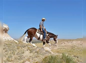 American Quarter Horse, Gelding, 3 years, 14.3 hh, Pinto