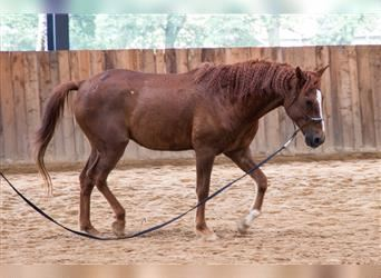 Curly horse, Gelding, 6 years, 15.2 hh, Chestnut-Red