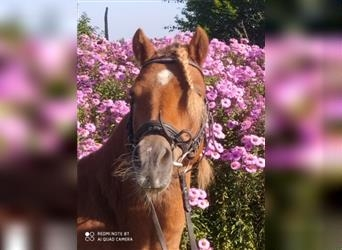 More ponies/small horses, Gelding, 6 years, 12 hh, Chestnut-Red