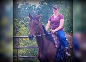 American Quarter Horse, Mare, 17 years, 15.1 hh, Bay